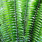 Encephalartos woodii / Woods cycad - Kew Gardens by Victoria limerick
