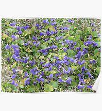 Violet patch Poster