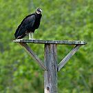 Black Vulture by Joe Jennelle