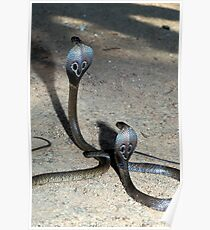 Young Indian or Spectacle Cobras, Naja naja, Sri Lanka Poster