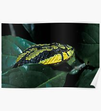 Sri Lankan Green Pit Viper, Trimeresurus trigonocephalus, Sri Lanka Poster