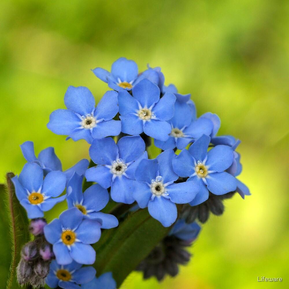 Forget-me-not • Myosotis alpestris • Alpine forget-me-not ...