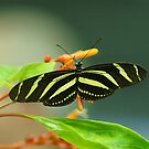Delicately Striped by shell4art