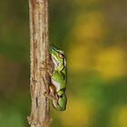 European Tree Frog(2cm) by Lifeware