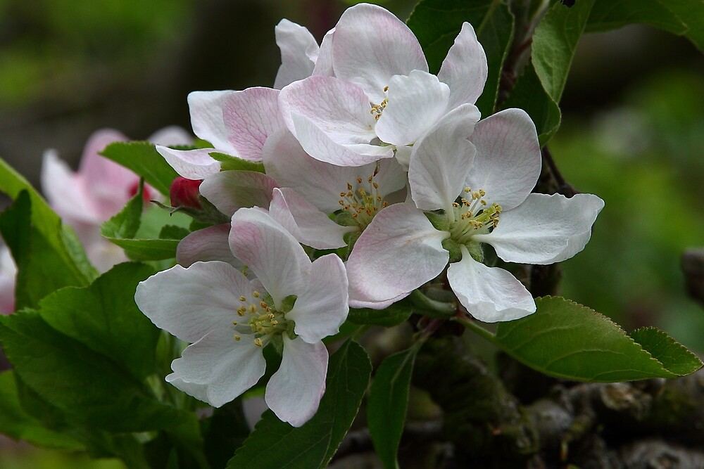 Apple Blossom by kitlew