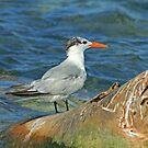 Royal Tern by Robert Abraham