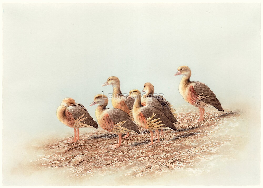 Plumed Whistling Ducks (Dendrocygna eytoni) by Laura Grogan