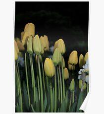 Yellow Tulips  Poster