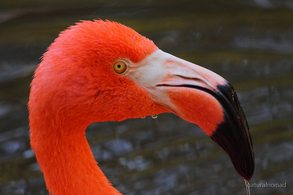 Flamingo Portrait by naturalnomad