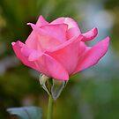 Portrait of a pink rosebud by Ben Waggoner