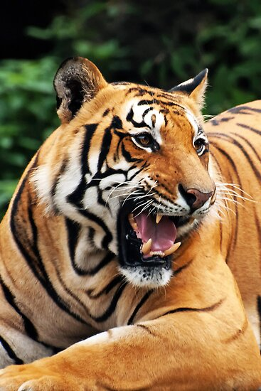 The gallery for --> Tiger Roaring Side View - photo#16