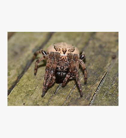 Impressive Looking Orb Weaver. Photographic Print