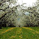 Hood River Blossom Landscape by Nick Boren