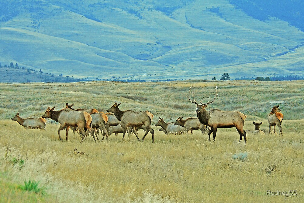 Evening Elk Move by Rodney55