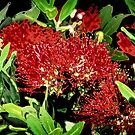 Pohutakawa (NZ Christmas Bush) by amko