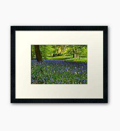 A Carpet of Bluebells Framed Print