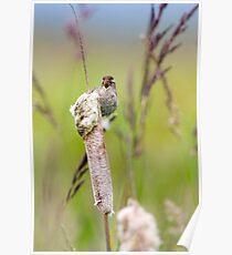Singing Marsh Wren Poster