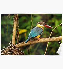 Stork billed king fisher Poster
