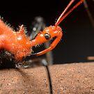Close-up of Orange Assassin Bug - Gminatus australis by Andrew Trevor-Jones