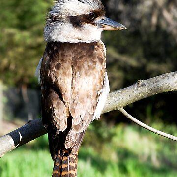 Kookaburra by AnnabelHC