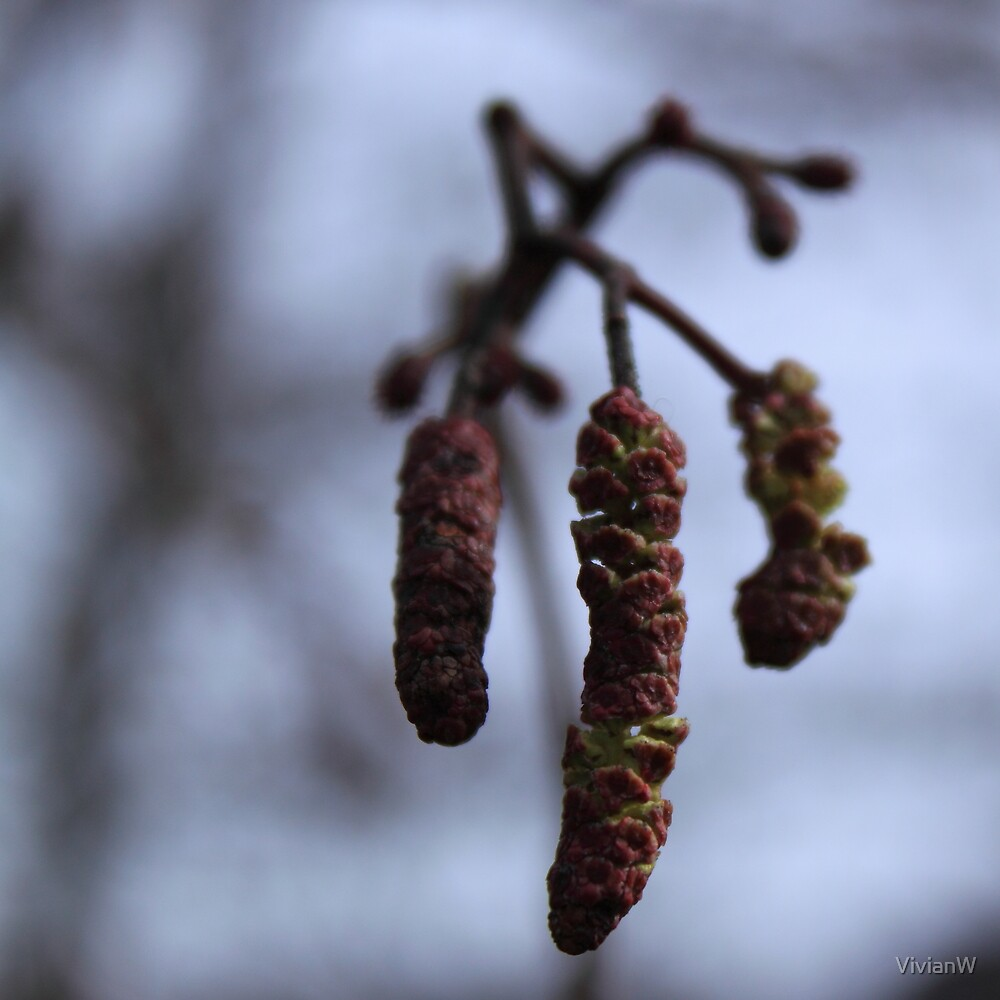Alder catkins on an early April day by VivianW
