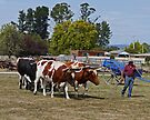 Oxen team, Steamfest, Sheffield, Tasmania by Margaret  Hyde