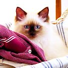Molly in the washing basket. by ronsphotos