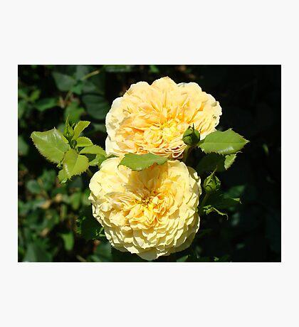 Beautiful Double Rose Yellow Peach Rose Flowers art Photographic Print