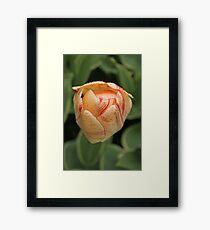 Tulip - Keukenhof gardens, Netherlands Framed Print