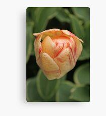 Tulip - Keukenhof gardens, Netherlands Canvas Print