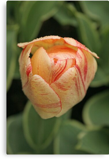 Tulip - Keukenhof gardens, Netherlands by Jeanne Horak-Druiff