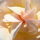 Spiral Rose art Floral Peach Pink Rose Flower Baslee by BasleeArtPrints