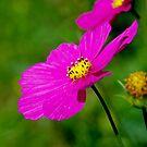 pink beauty by Daidalos