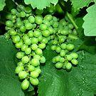 Green grapes by Arie Koene