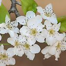 Wild Pear Blossom by DebbieCHayes