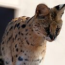 Nanki the African Serval by Cecily McCarthy