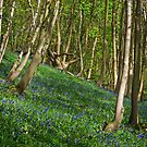 Bluebells in Timbercombe Wood, The Cotswolds, England by Giles Clare
