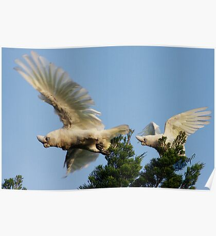 Little Corellas at play Poster