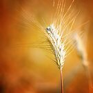 canterbury wheat by Aimée McMaster