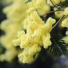 wattle blossom glow by gaylene