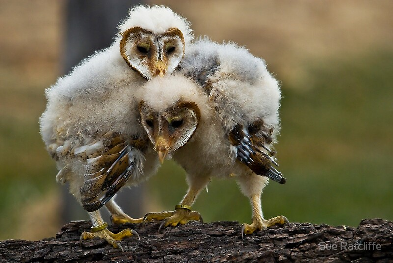 """""""Baby Barn Owls"""" Posters by Sue Ratcliffe 