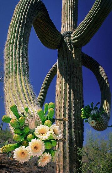 Blooming Saguaro by Inge Johnsson