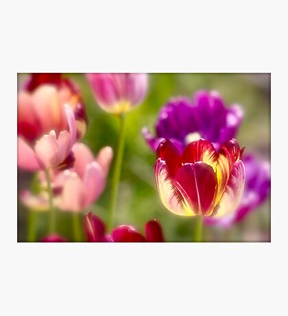 Tulips landscape. by Brown Sugar . Views (411) . Favs (8). Ola la , so good !!!  Thank you friends !!! Happy Easter !!! Amen ! Photographic Print