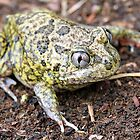 Common Spadefoot by EnviroKey