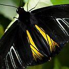 Golden Birdwing Butterfly by Jenni77