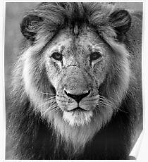 Maasai Mara Lion Poster