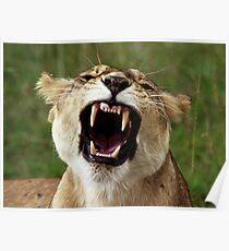 Maasai Mara lioness  Poster