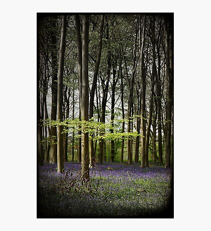 Micheldever bluebell woods Photographic Print