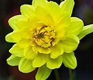 Yellow Dahlia by Ray Clarke