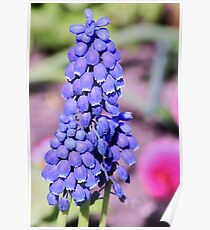 little blue bells Poster